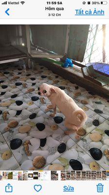 Chó Chihuahua side nhỏ trên dưới 1 tuoi