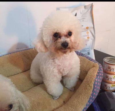 Chó Poodle trắng tinh 12-15tháng