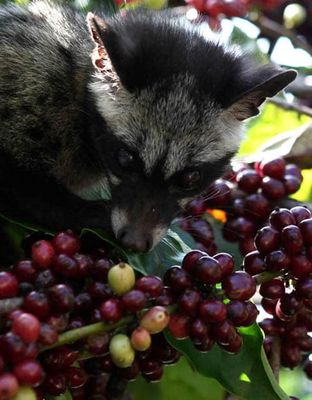 Cà phê CHỒN buôn ma thuột KIỀU HOA món quà đặc sản