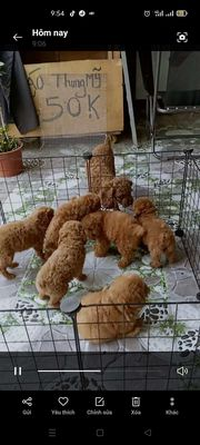 Poodle thuần chủng gần ngã 6 An Phú