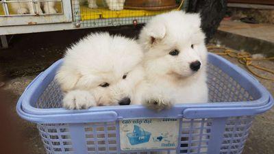 Chó samoyed 2 tháng tuổi
