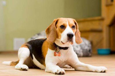 Tôi cần bán chó Beagle