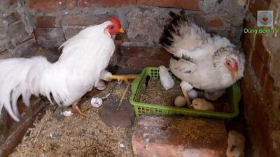 Cần mua gà tre rặt làm kiêng