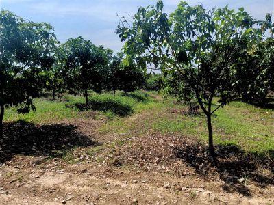 Bán vườn xoài phú ngọc dt 2000m giá 500 tr