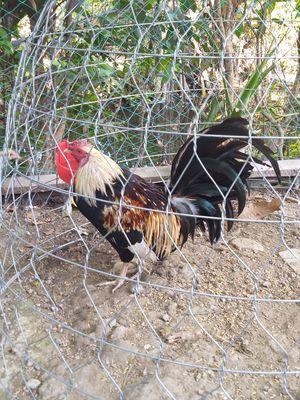 Cần bán bộ gà nọc 2 chống 6 mai