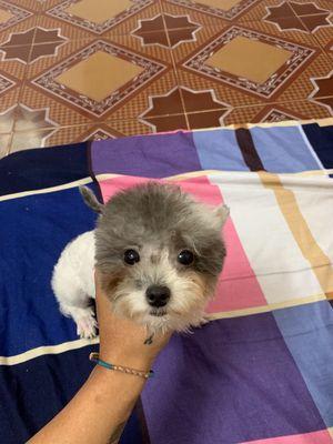 Chó poodle cái teacup bò xám hơn 5 tháng tuổi