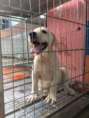 Labrador thuần chủng đẹp có bố VKA