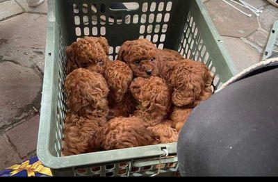 9bé Poodle chuẩn tiny nâu đỏ & vàng mơ