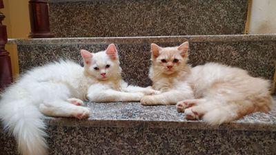 2 mèo con ALD hơn 3 tháng tuổi, 1tr5/con, Hà Nội