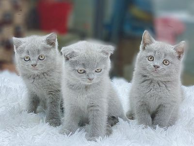Mèo anh lông ngắn bao thuần chủng mặt đẹp q1