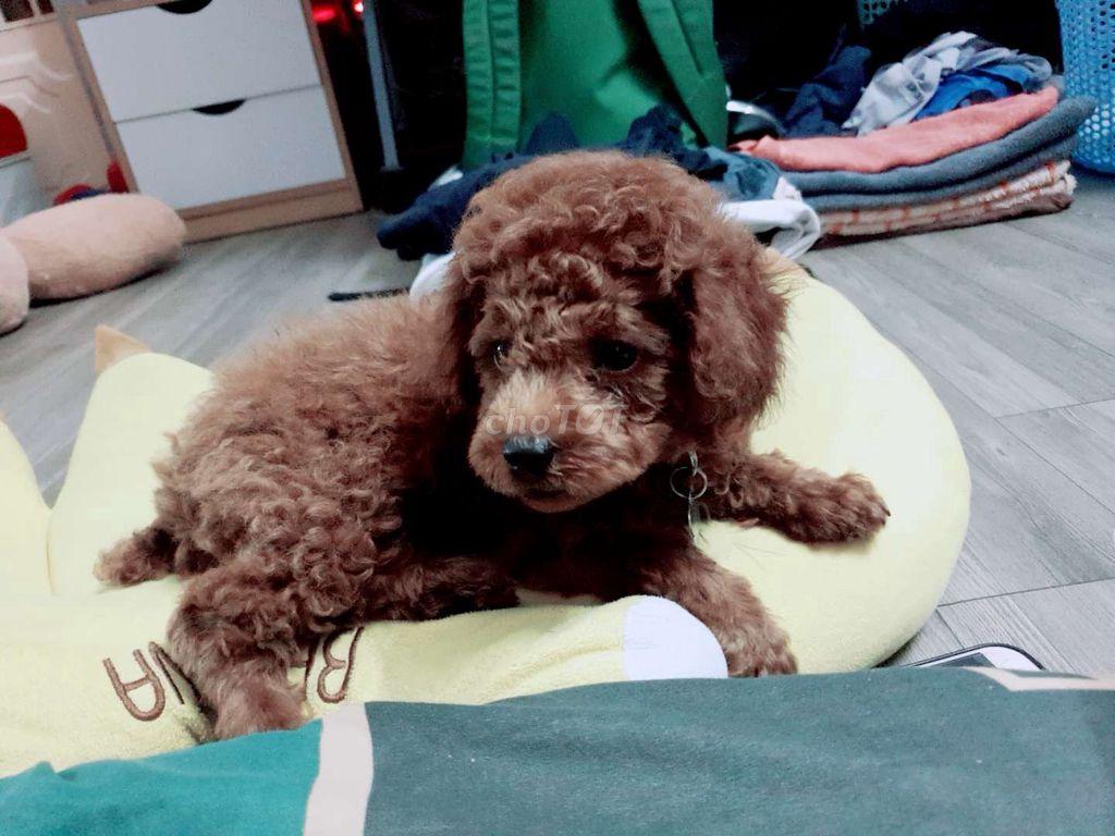 0975277016 - Bé poodle đực 3 tháng rưỡi nâu đỏ siêu ú nụ