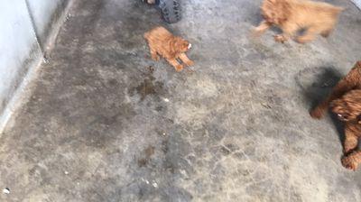 Chó poodle giống đực 2 tháng tuổi