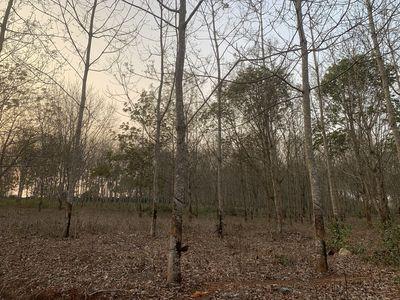 Đất cao su 7 ha cây to, thu hoạch đều đặn.