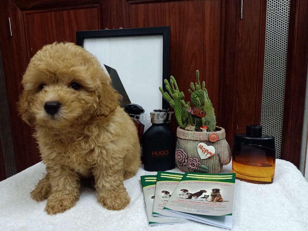 0564294292 - Poodle 45 ngày tuổi