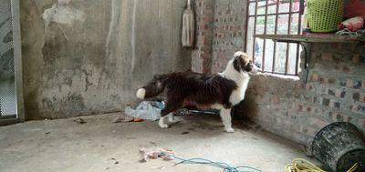 Bán bé border collie đực 6 tháng rưỡi mầu nâu đỏ