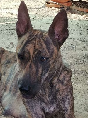 Chó Phú Quốc sinh sản 1 lứa