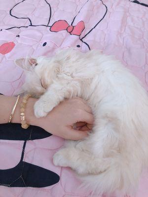 Mèo anh lông dài thuần