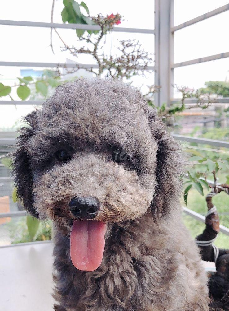 Chó Poodle thuần chủng - xám đực 18 tháng.