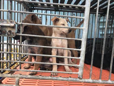 Chó Labrador lai