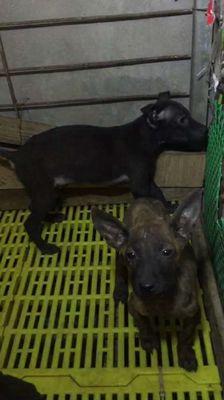 Chó Phú Quốc lỗi xoáy cái đen
