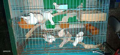 Bán chim cu gáy sinh sản