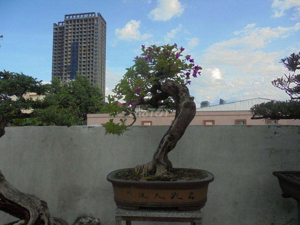 Cây hoa giấy cao 79cm,dáng lão mai