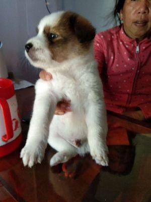 Chó Lông Xù