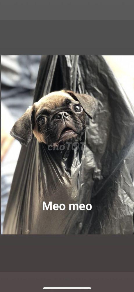 Chó Bug Cái mập Ú khôn biết vệ sinh biết nghe lời