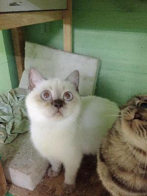 Bé mèo anh lông ngắn cái màu hyma