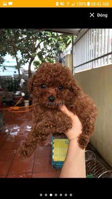 Mình cần mua 1 bé poodle màu nâu đỏ đực giá 2tr
