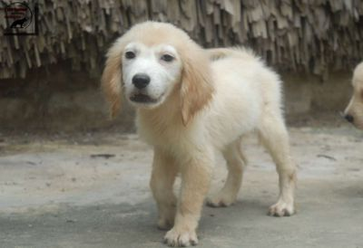 Golden Retriever đực 2th tuổi