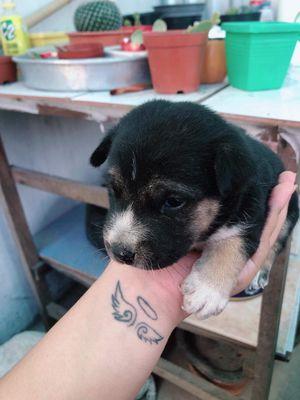 Chó nhà nuôi chân ngắn được 2 tháng