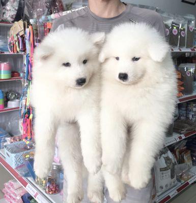 chó samoyed gấu tuyết