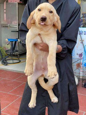 Labrador vàng, cưng cưng