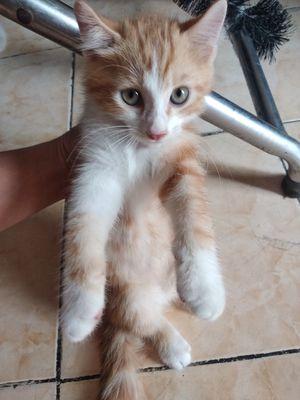 Bé mèo anh lông vàng