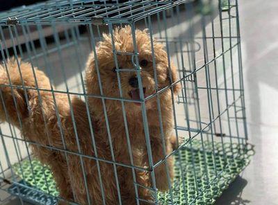 Chó poodle thuần chủng, màu vàng mơ