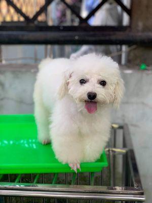Poodle tiny cái trắng tinh, đang lên giống đc 2ng