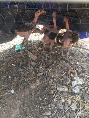 Gà đòn con xám chân xanh 2,5 tháng tuổi