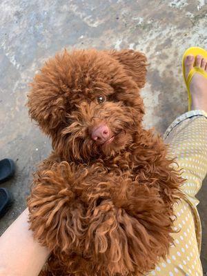 Cần bán chó Poodle Tiny 8 tháng tuổi