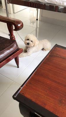 Chó Poodle thuần chủng giống đực full trắng