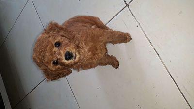 Poodle con nâu đỏ ,mắt tròn xoe.