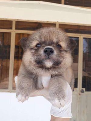 POM FOX SOC mini chó nhà đẻ