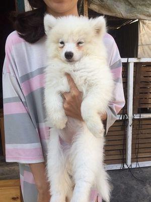 Samoyed 3 tháng tuổi chó nhà nuôi