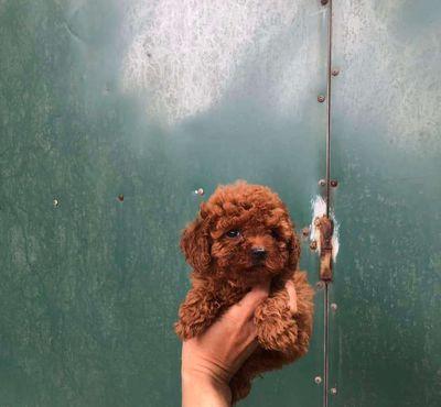 Poodle tiny chuẩn nâu đỏ
