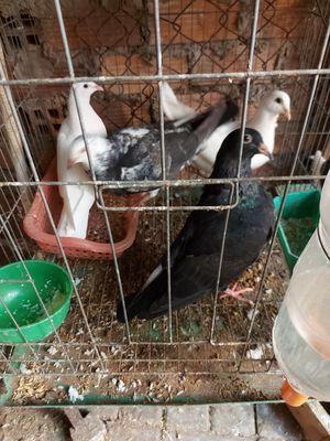3 cặp chim bồ câu pháp 2 tháng tuổi