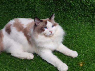 Mèo RagDoll  Đực10 tháng chờ bố mẹ đón