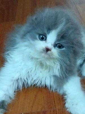 Mèo ald Scottish bố có phả nhập Nga