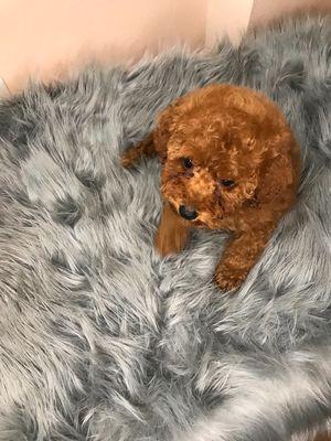 Chó poodle cái nâu đỏ đậm 2,5 tháng