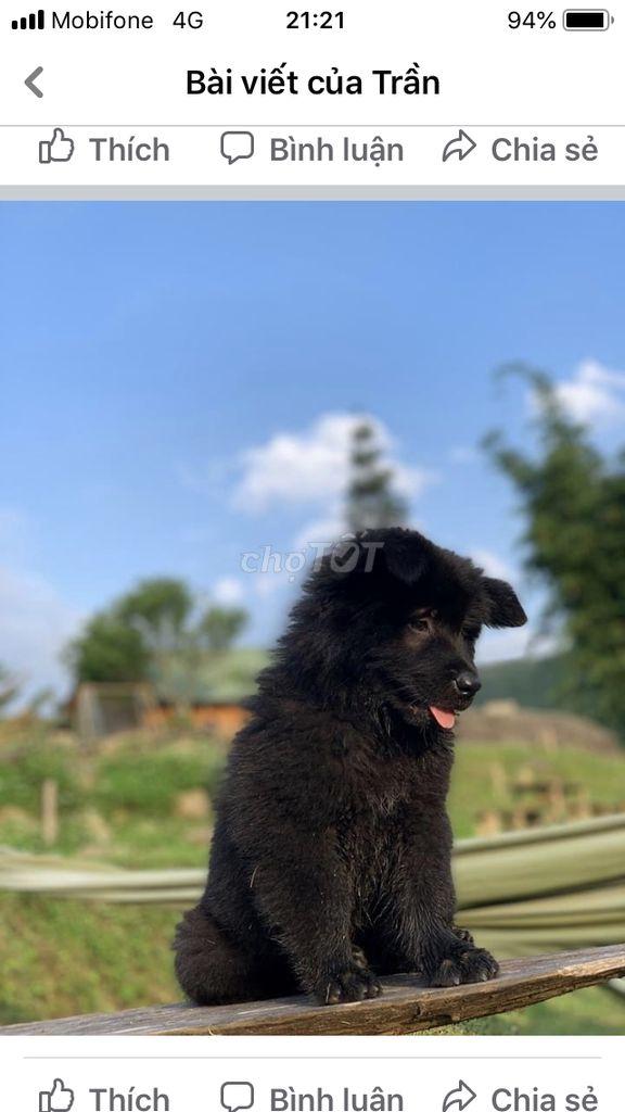 Chó xù Bắc Hà cac loại , đặc biệt lưỡi thep, đốm..