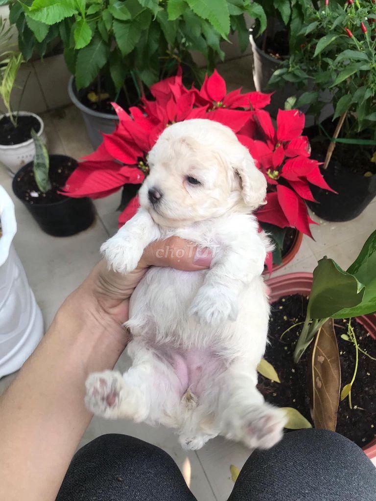 Bé cún poodle chân ngắn siêu đáng yêu